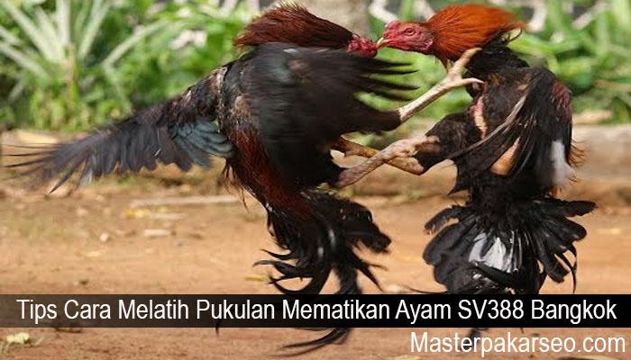 Tips Cara Melatih Pukulan Mematikan Ayam SV388 Bangkok
